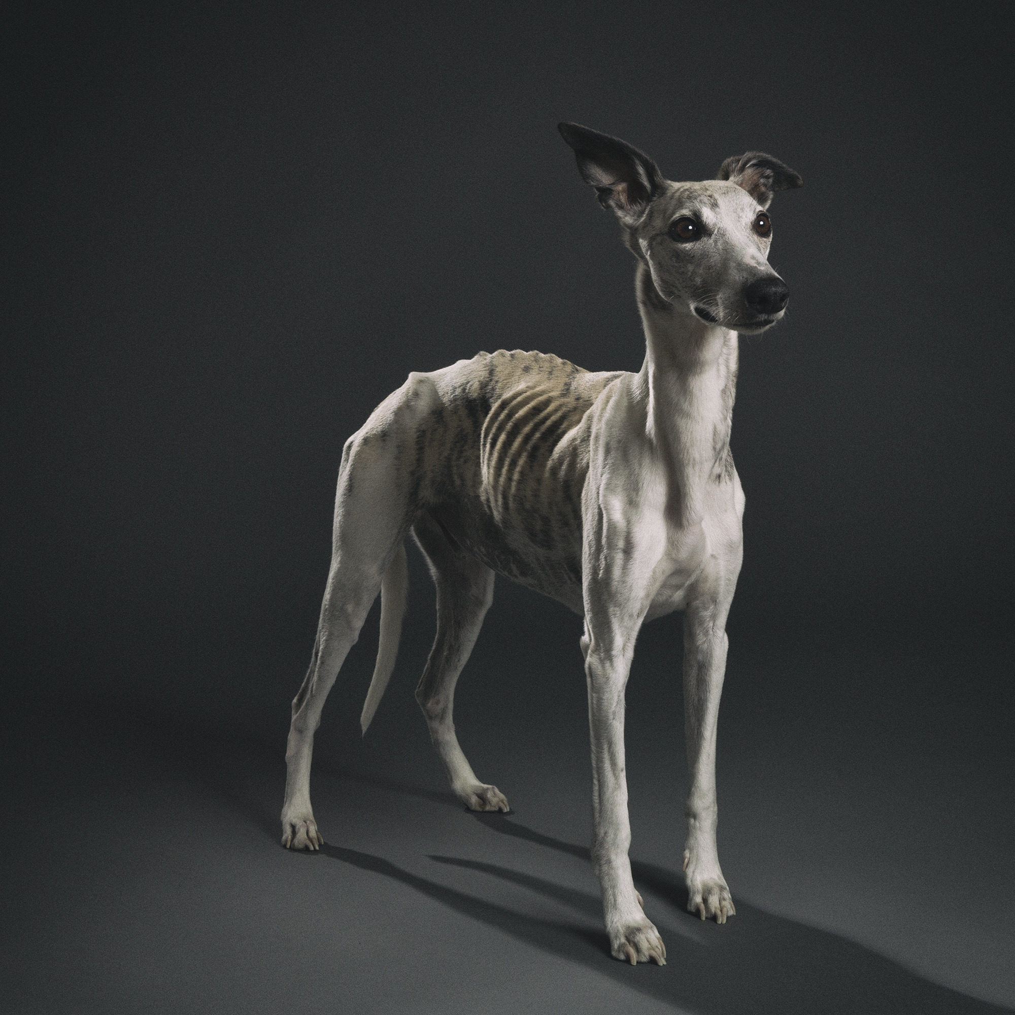 A Dying Whippet