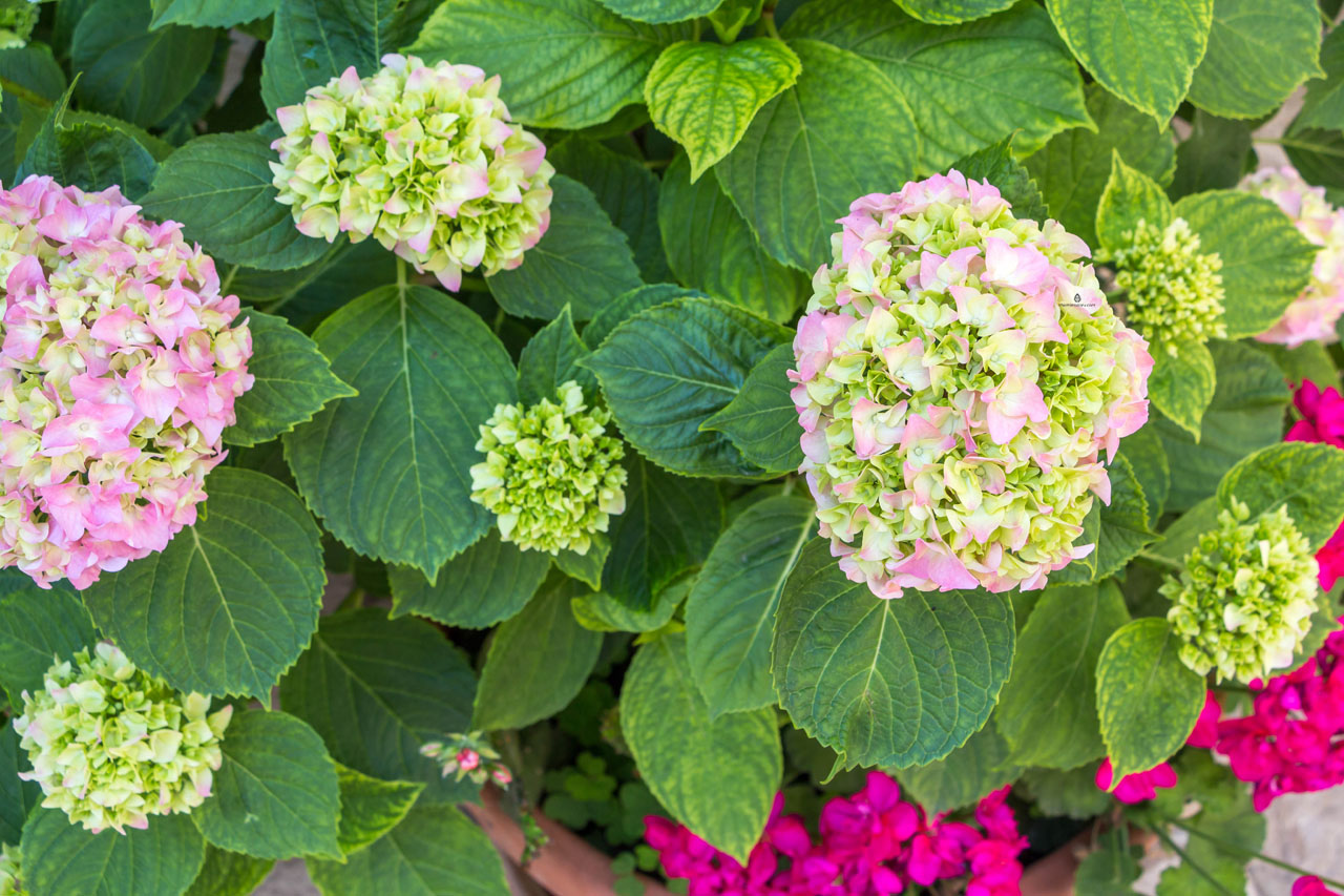 Hortensia-plant