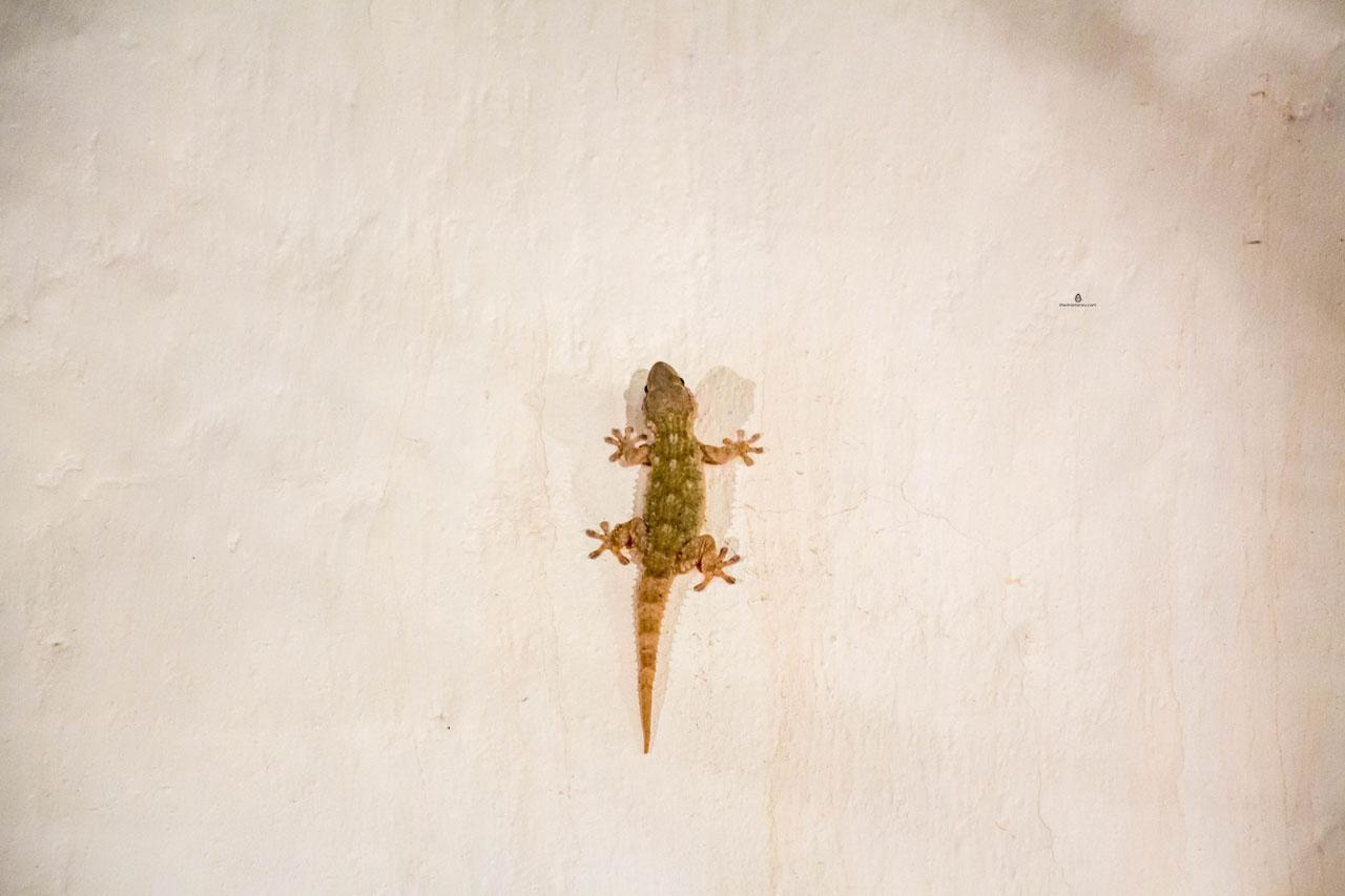 Gecko-Gargano