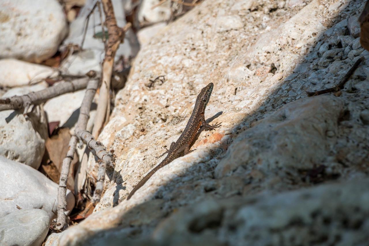 Lizard-photo