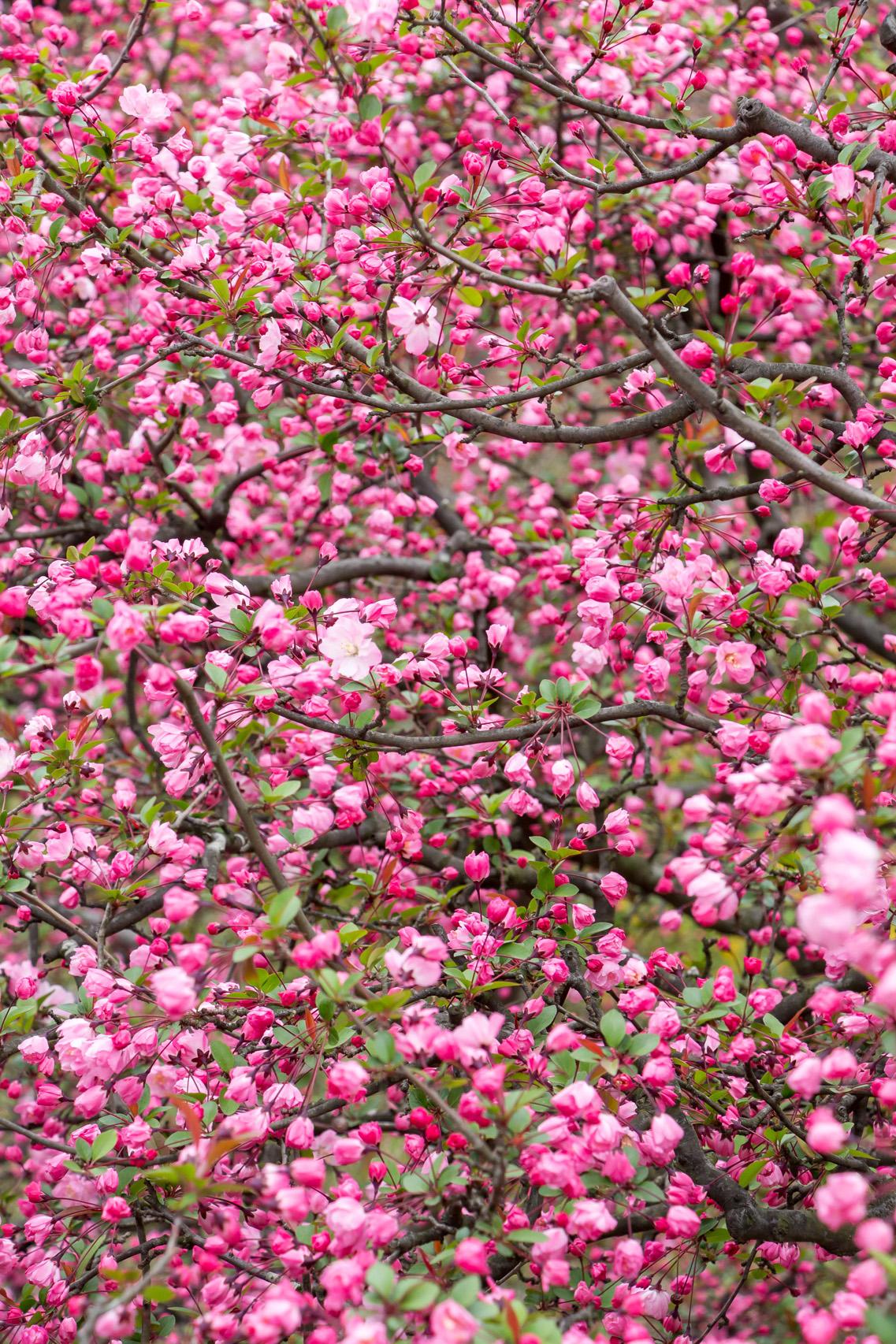 Spring-blossoms-Japan
