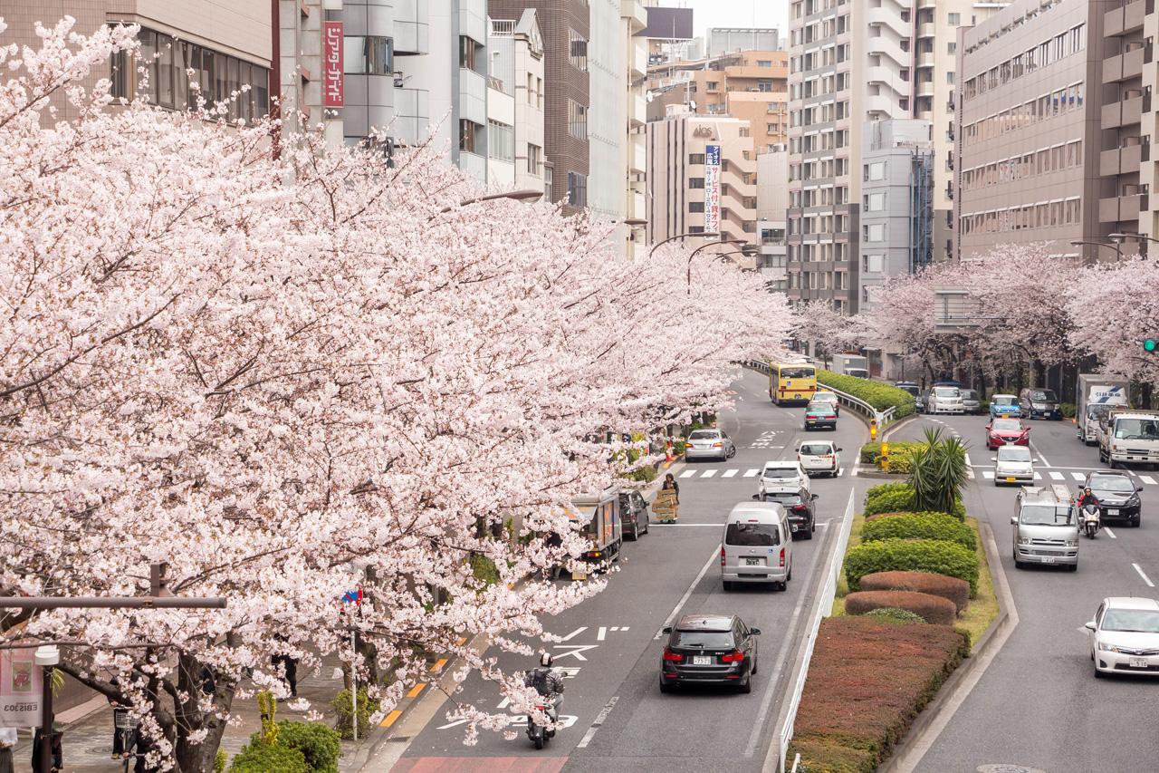 Ebisu-Sakura