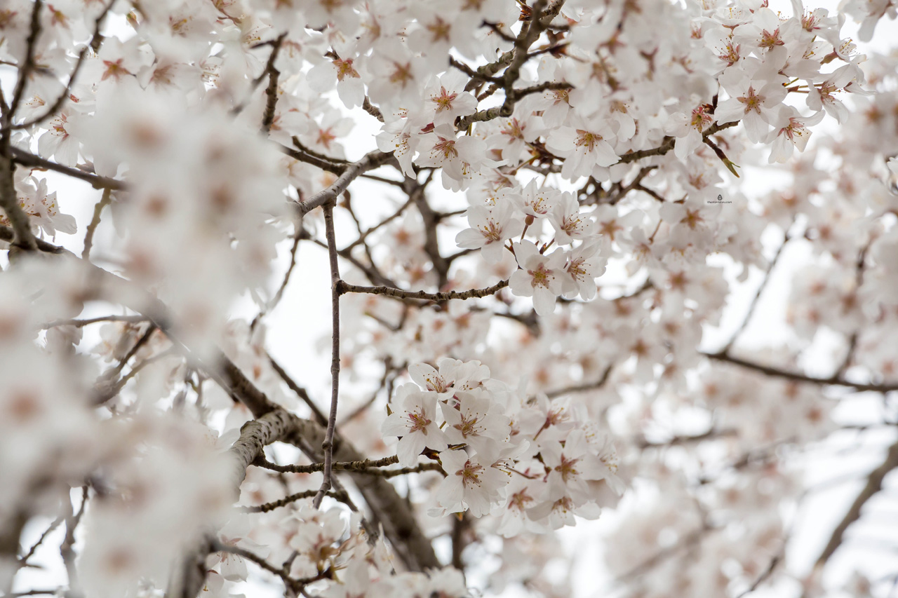 White-spring-blossoms