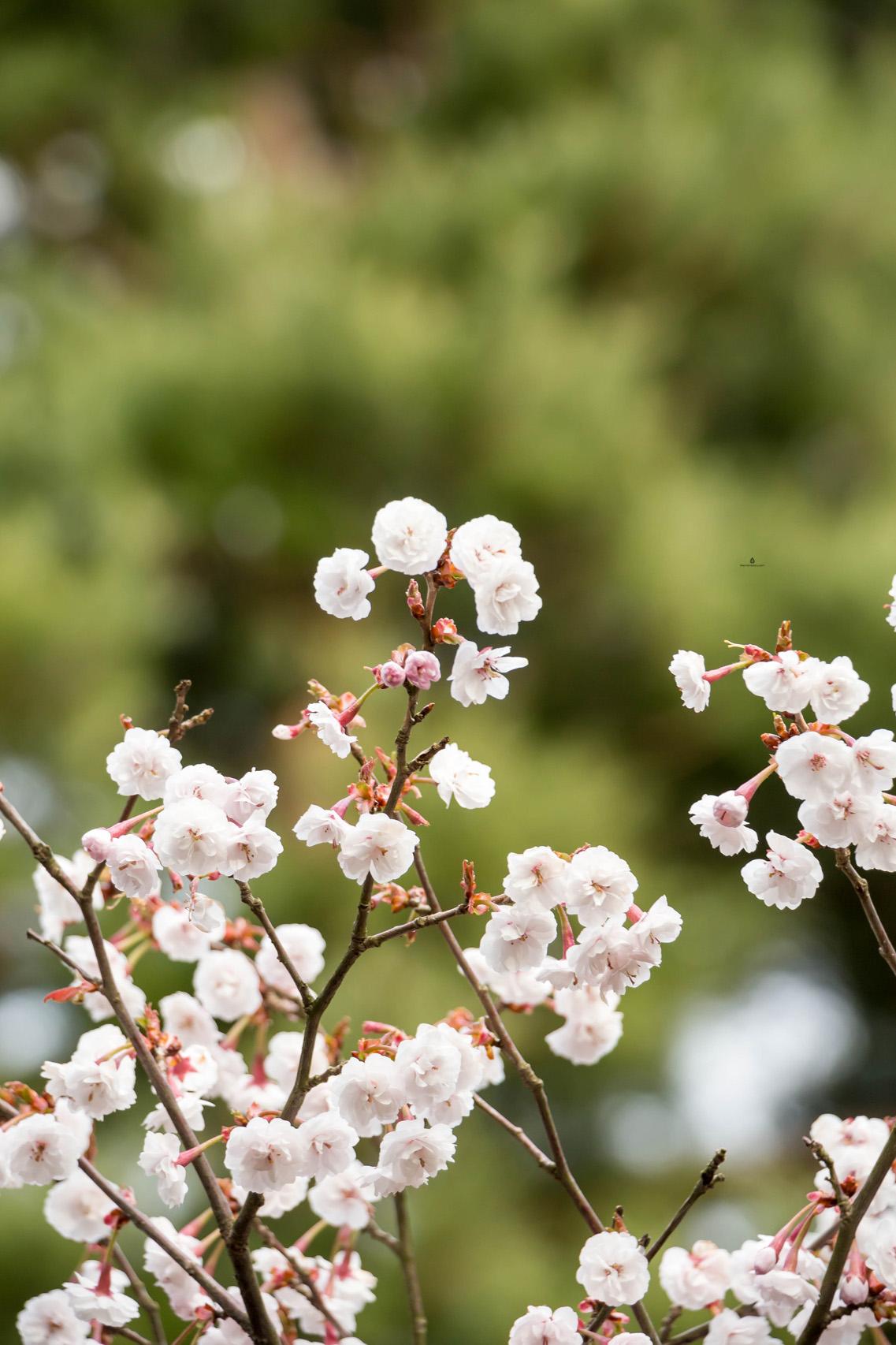 Sakura-Japan-blossoms