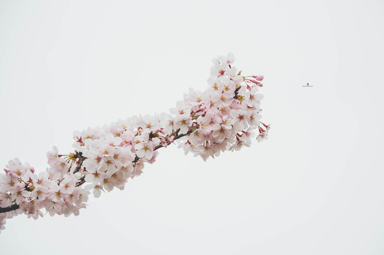 Cherry-blossom-white