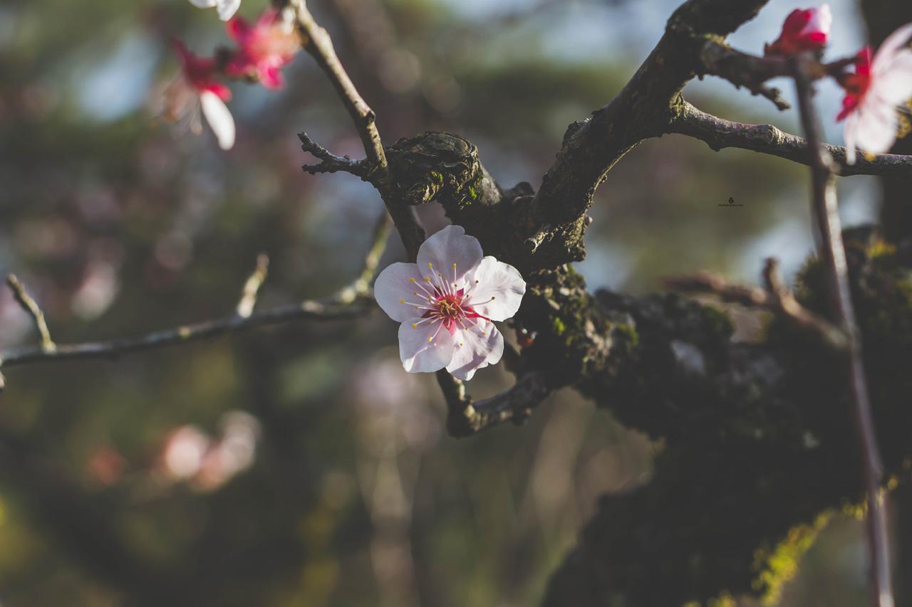 Cherry-flower