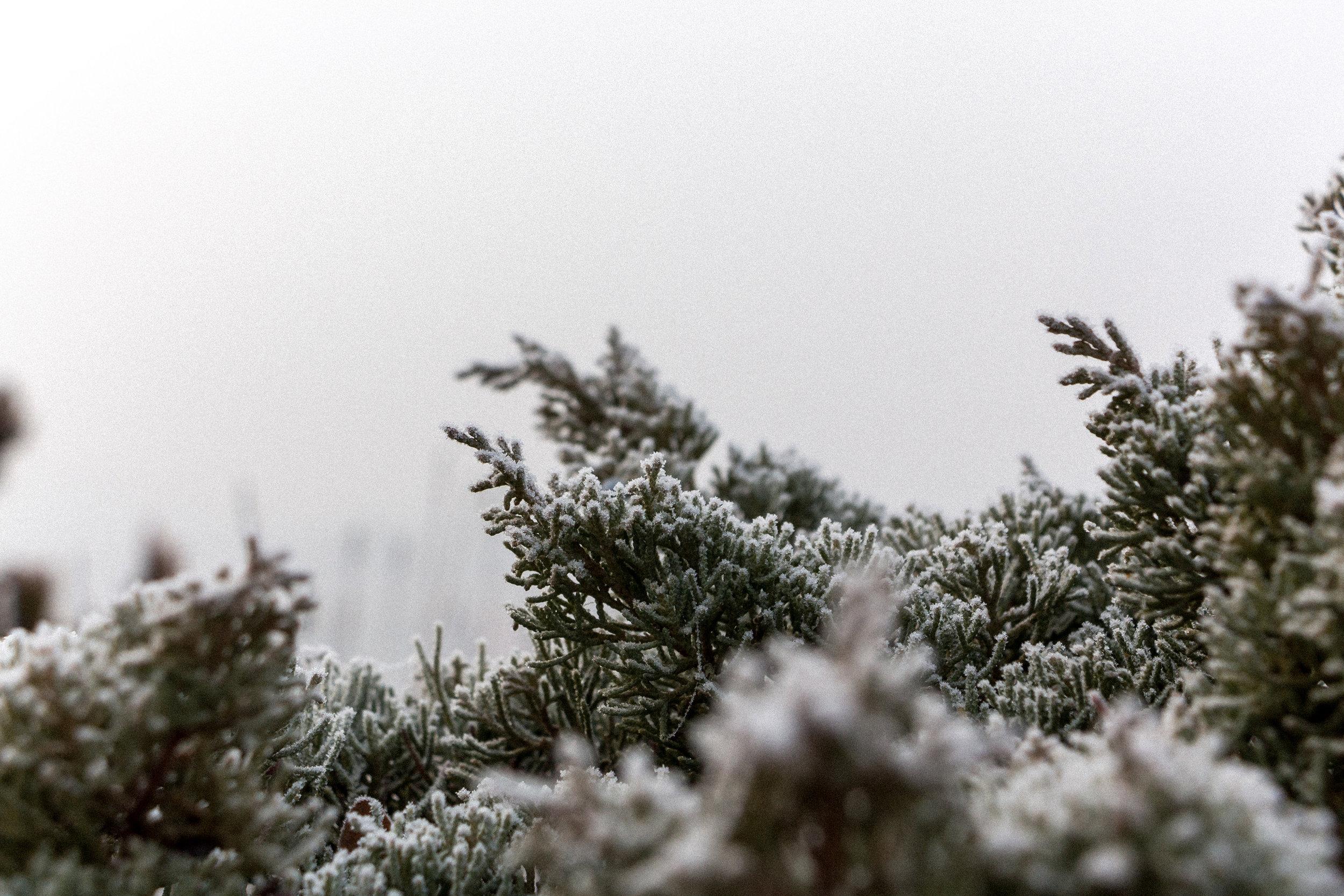 Frozen-pines