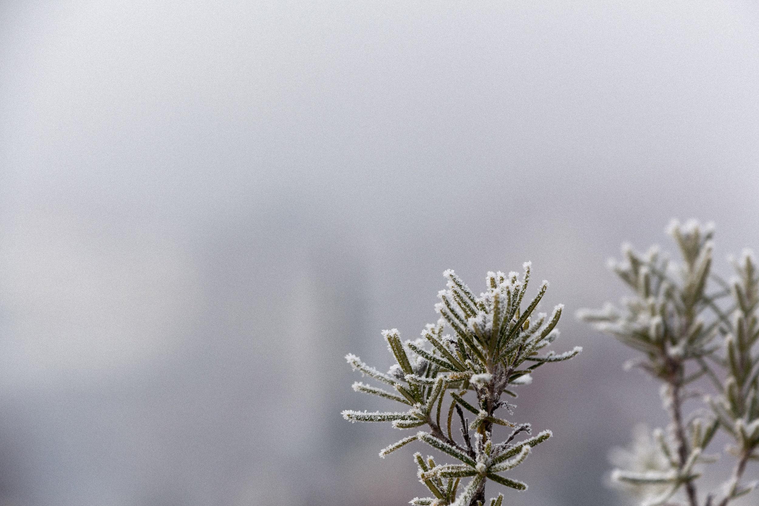 Rosemary-in-winter