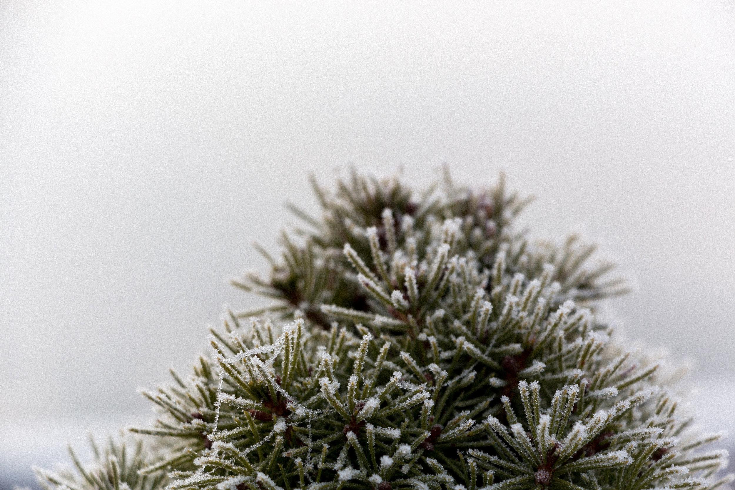 Frost-on-pine-needles