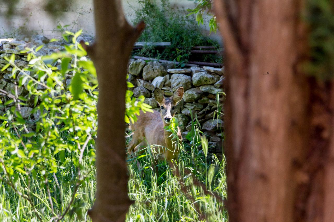 Istria-roe-deer
