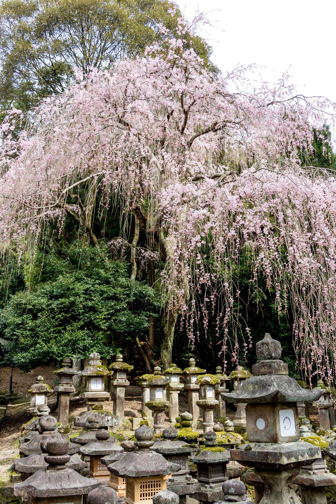 Kasuga-Taisha-cherry-blossom