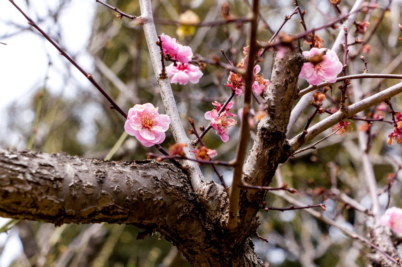 Nara-Manyo-flowers