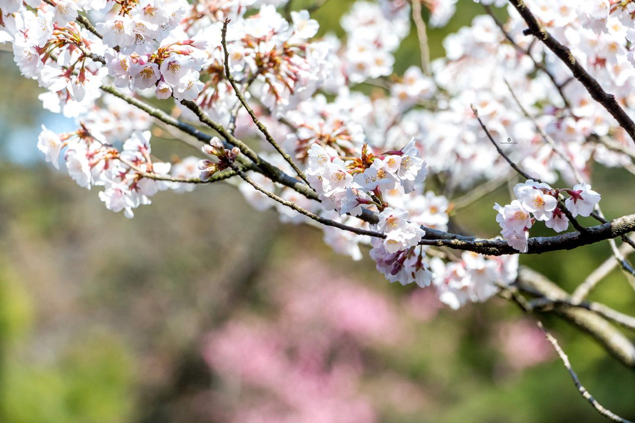 Sakura-Kanazawa