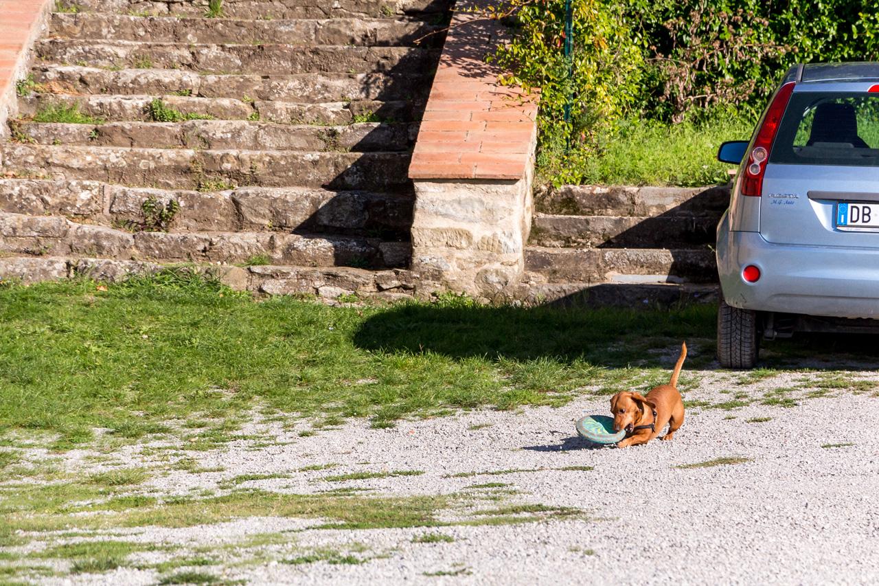 Cortona-dog