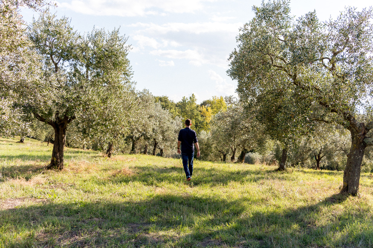 Umbria olive groves