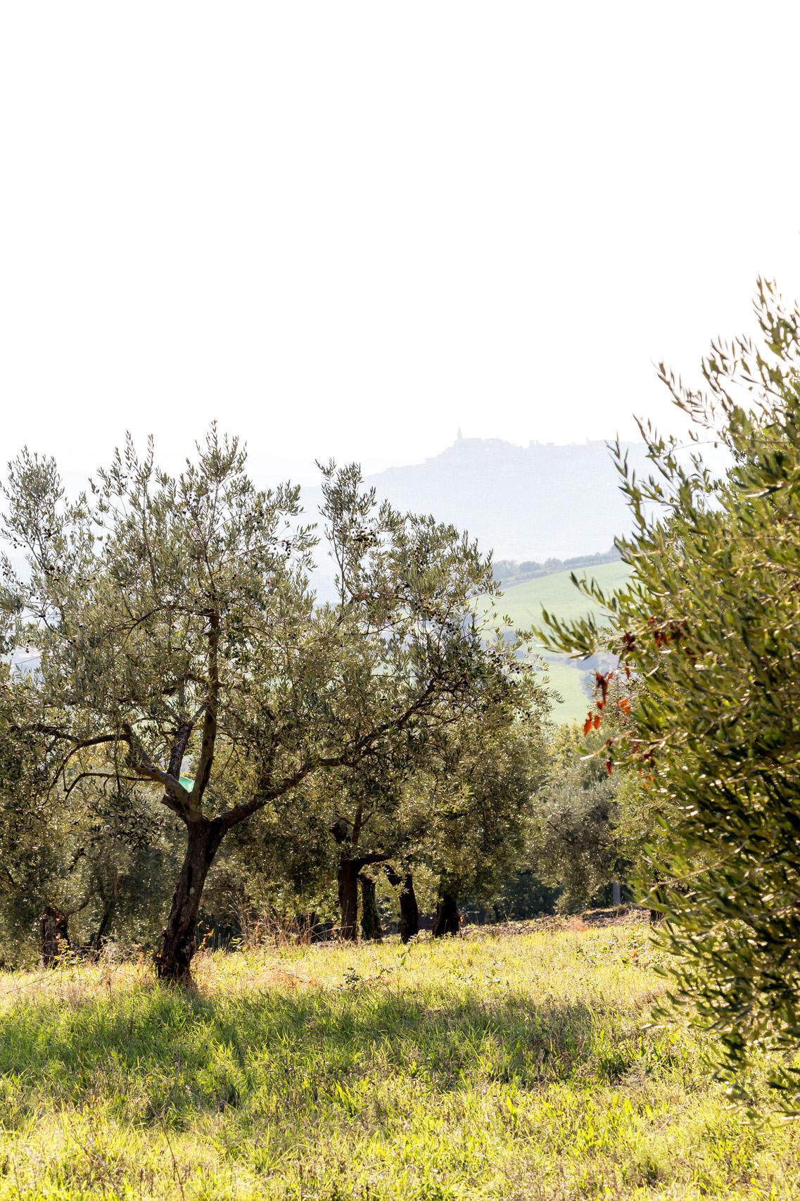 Olive groves around Todi, Umbria