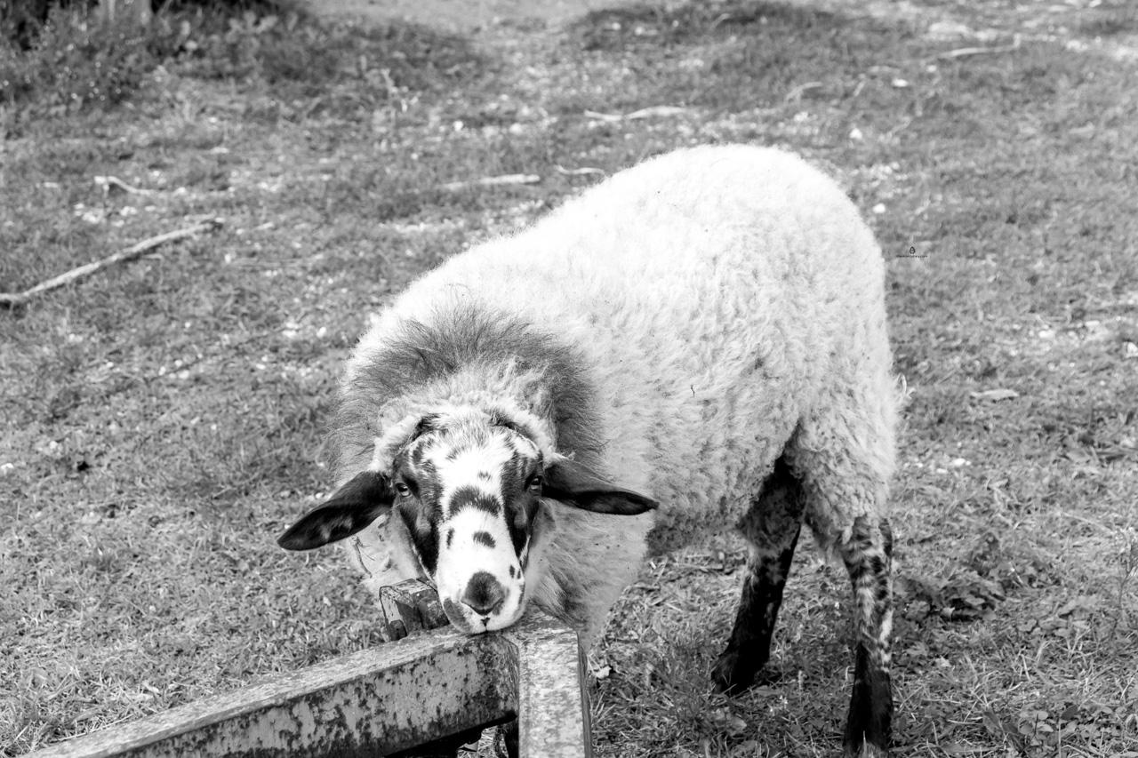 Sheep, Todi