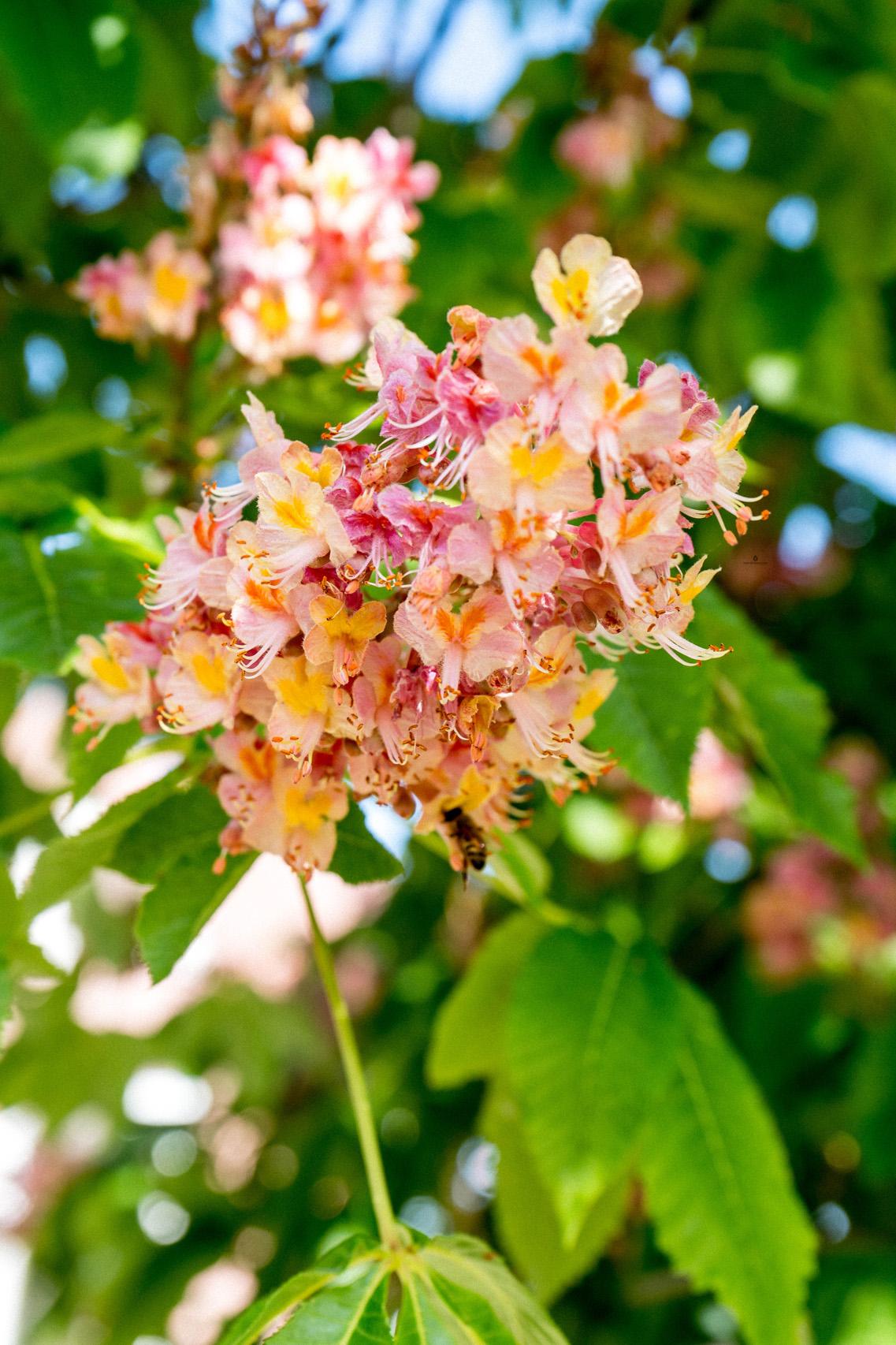 Chestnut flowers, Istria