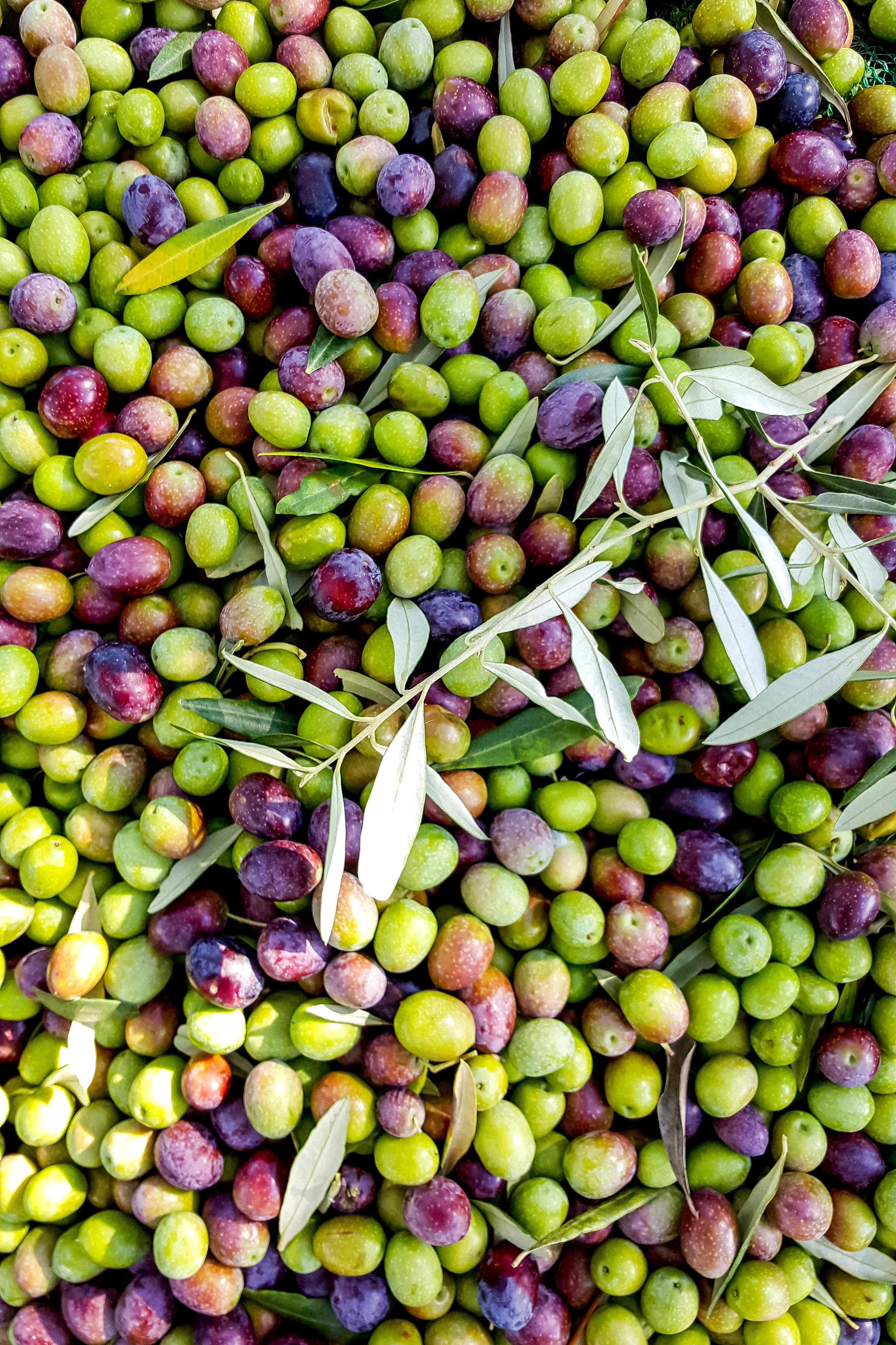 Olive harvest in Istria