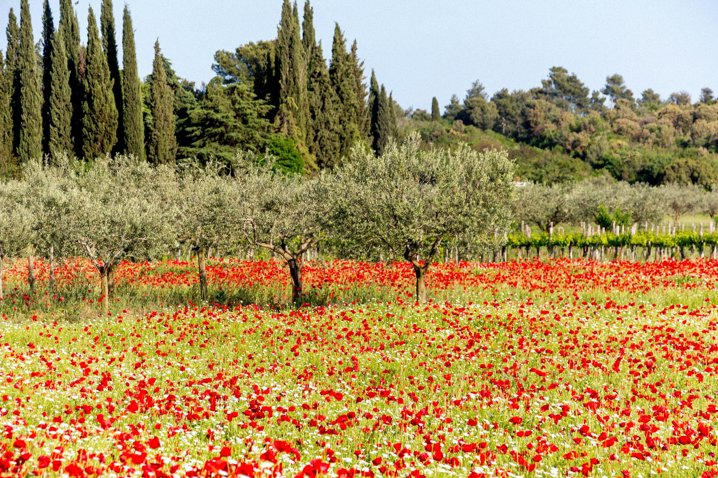 Poppy fields near Rovinj, Istria