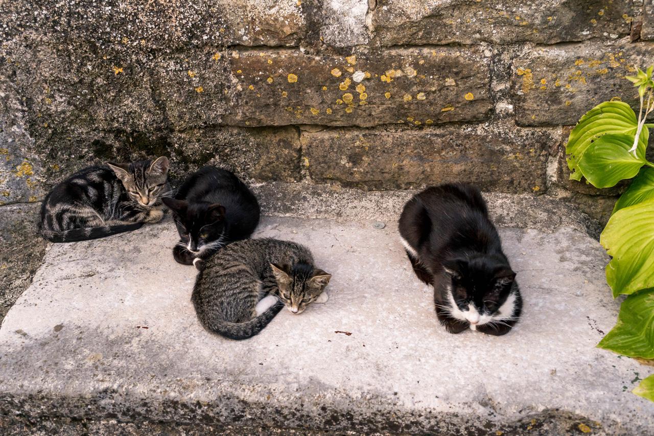 Cats in Zavrsje, Istria