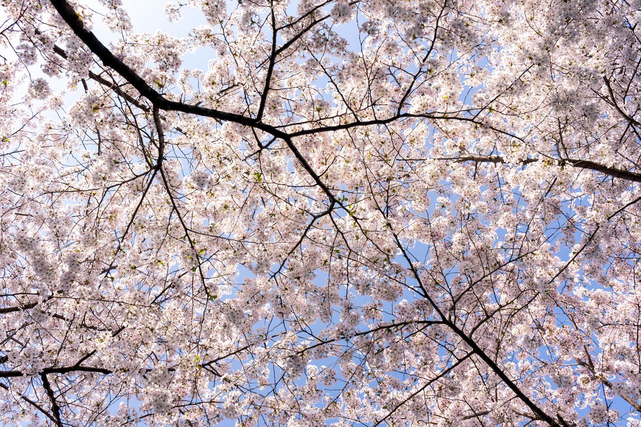 Sakura in Tsurumai park, Nagoya