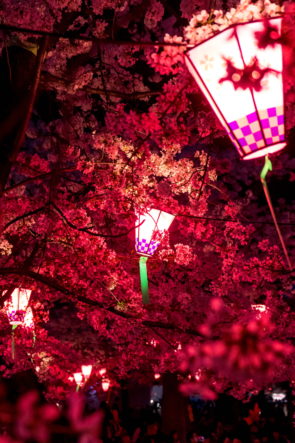 Lanterns and cherry blossoms in Tsurumai park, Nagoya