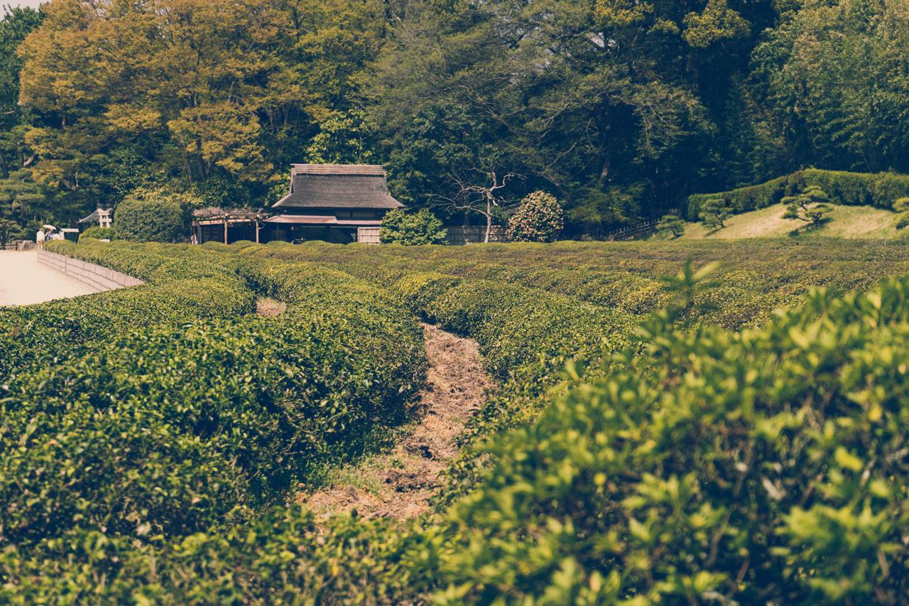 Tea plantation in Korakuen garden, Okayama