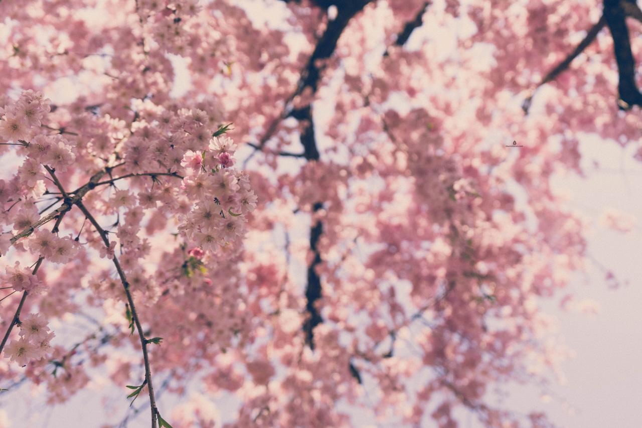 Cherry blossoms in Korakuen garden, Okayama