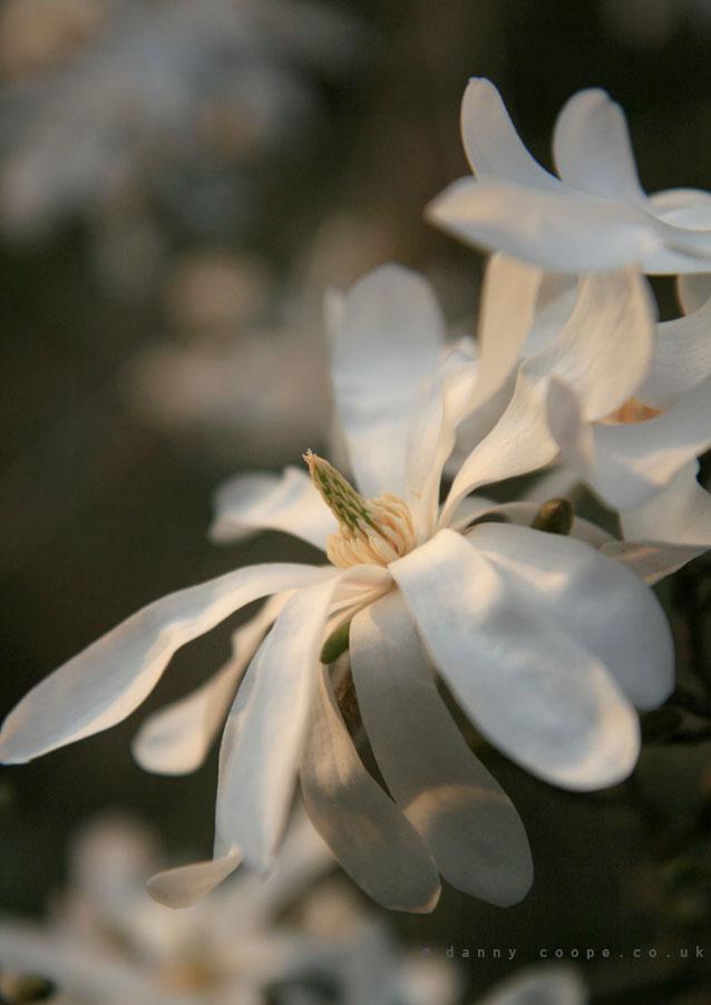 magnolia-stellata.jpg