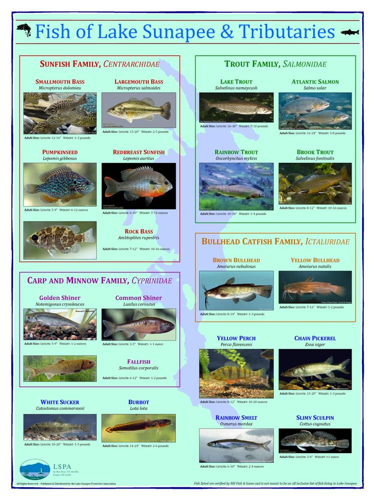 Fish of Lake Sunapee Poster  (18 by 24 inches)  $10.00