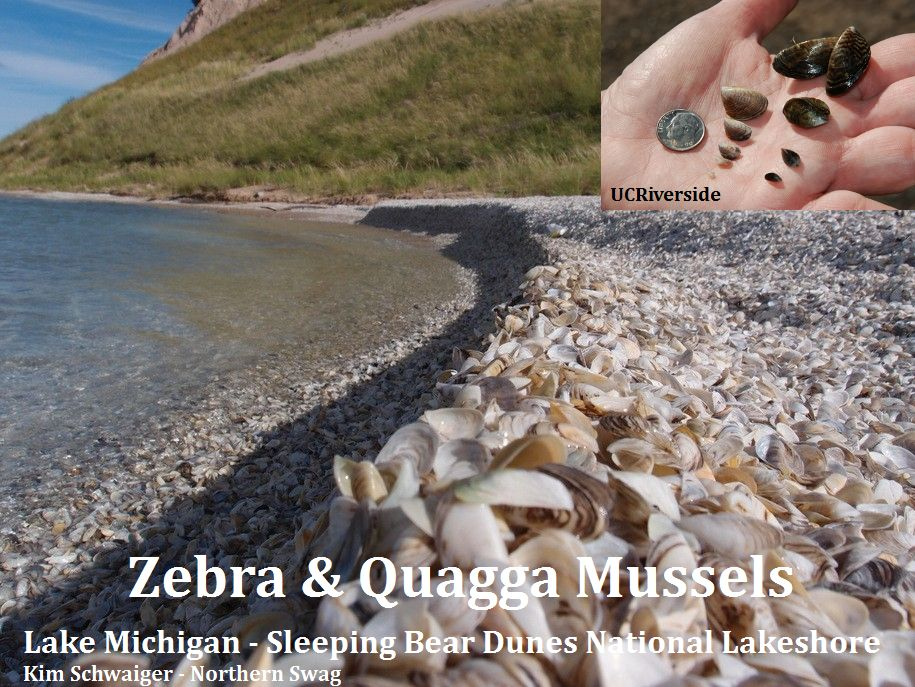 zebra-quagga_Lake-Michigan3_KimSchwaiger-NorthernSwag_web.jpg