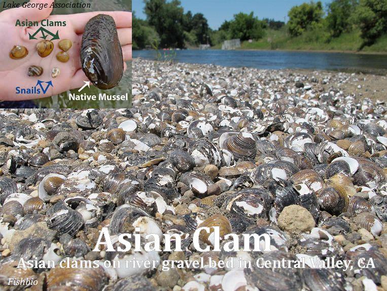 A.clam_CentralValleyRiver-CA_Fishbio_web.jpg