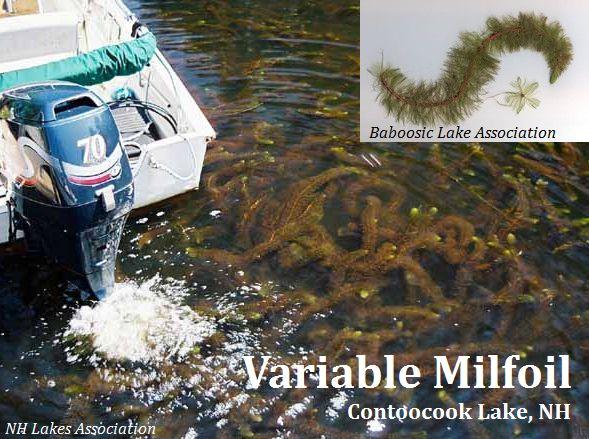 V.Milfoil_Contoocook-Lake_2010 NH LAKES_web.jpg