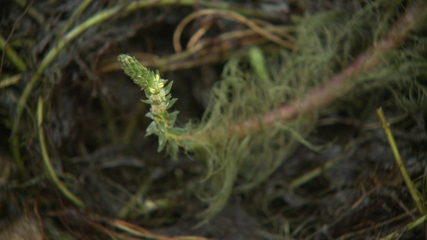 Variable Milfoil - NH Chronicle