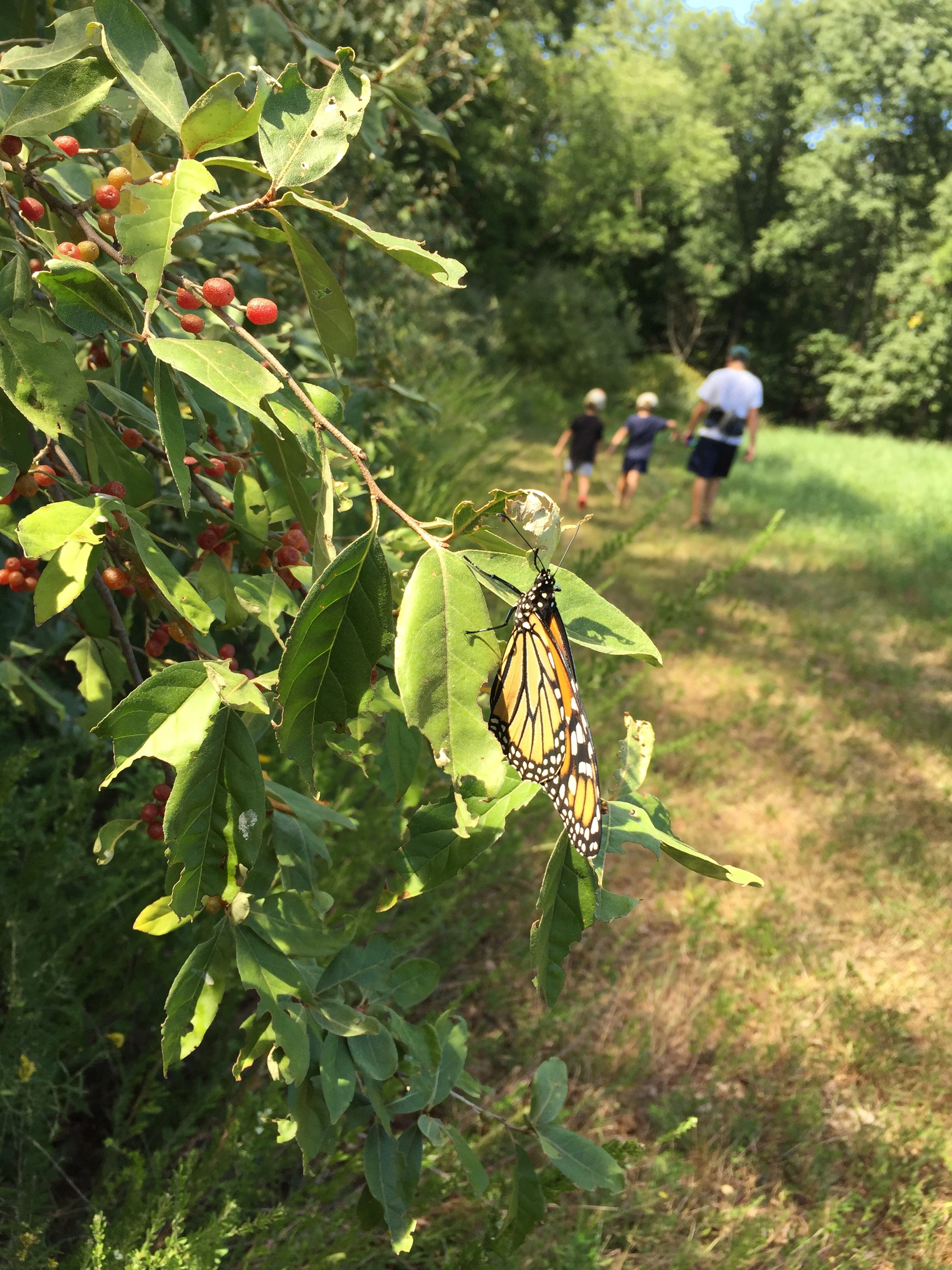 Remember that  caterpillar we found on our fennel  earlier this summer? Seems fitting that we'd encounter another butterfly on our walk this past weekend.