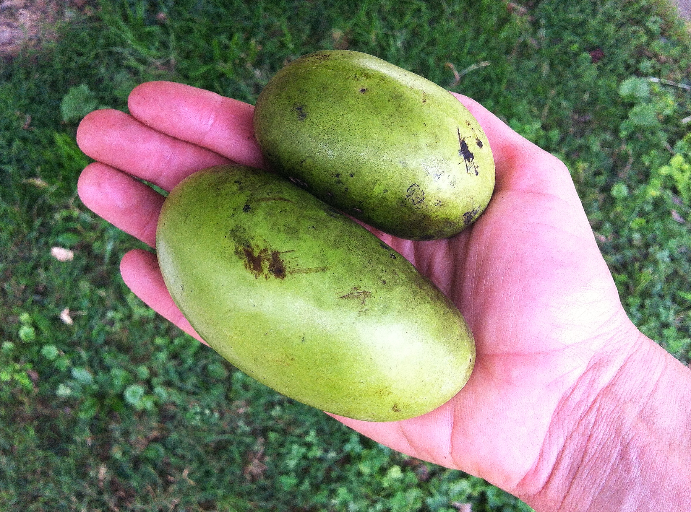 Pawpaws in the wild!