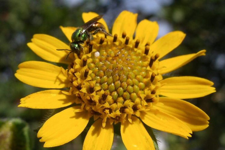 Meet the sunflower's superfood cousin  YACON  (I mean not biologically speaking, but just look at it)