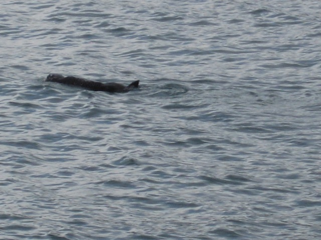 A Sea Otter relaxing along Lowell Point road. The only road to the cabins.