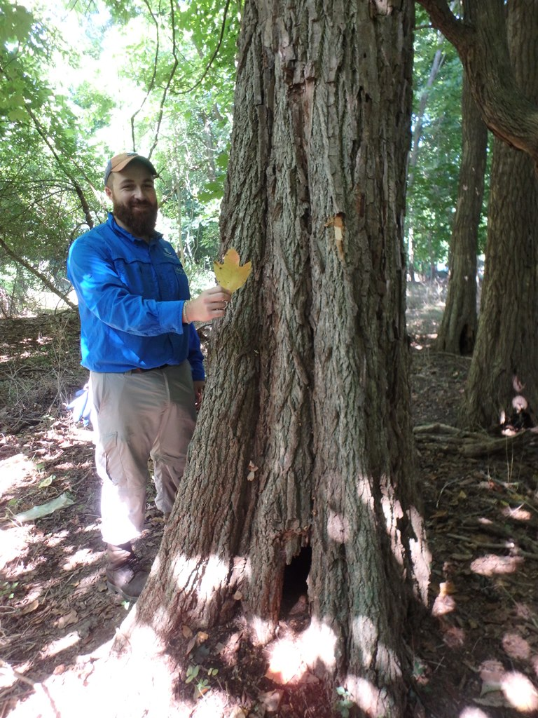 A mature Sassafras, possibly the largest one in Suffolk County. Luke Gervase of LIISMA is holding a Sassafras leaf.