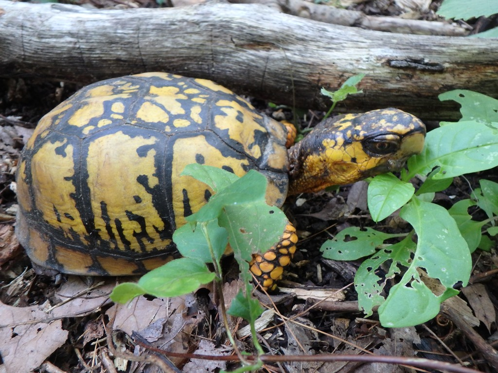 A thirty plus year old male box turtle