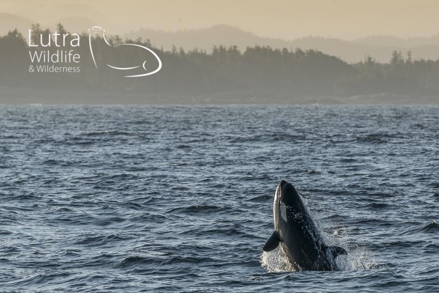 Norhtern Resident Killer Whale