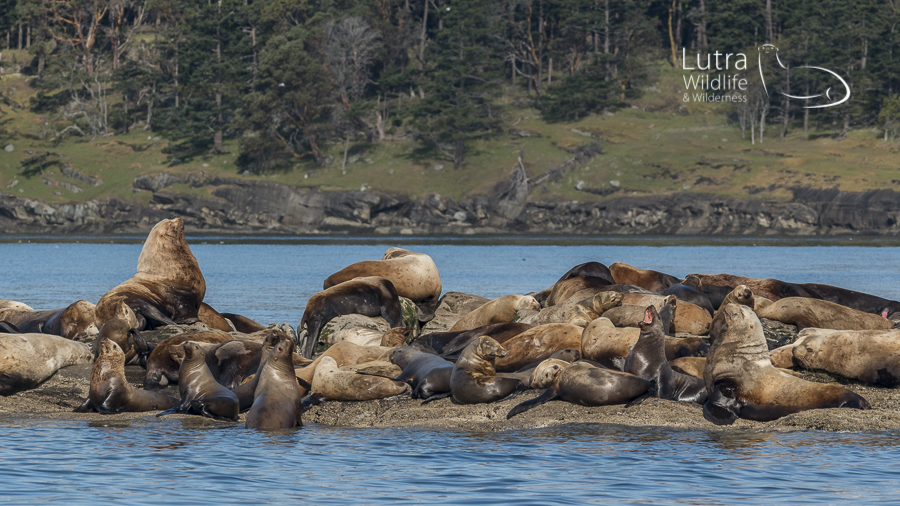 Steller Sea Lions - Southern Vancouver Island