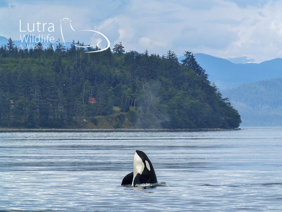 Northern Resident Killer Whale