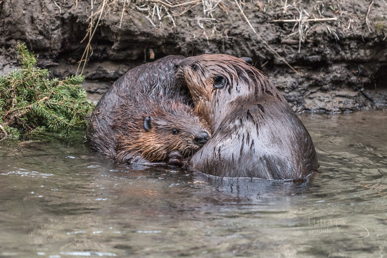 Northamerican Beaver
