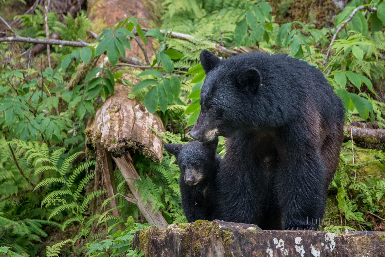 Black Bear mum and cub