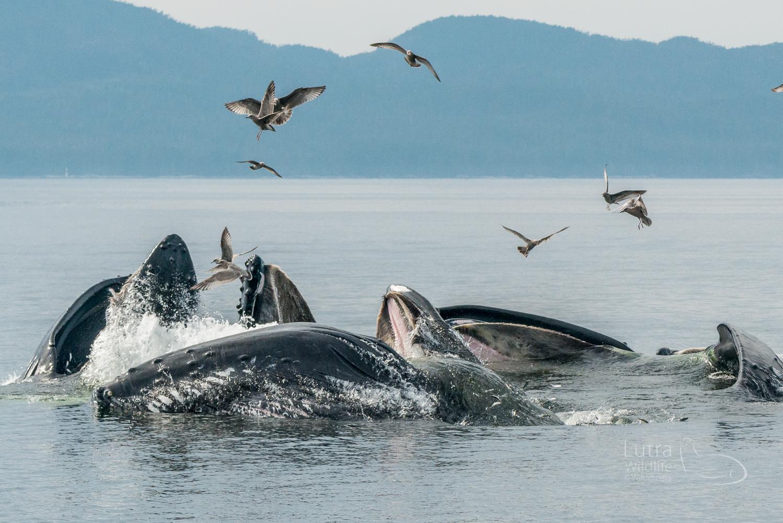 Humpback Whales bubble-net feeding