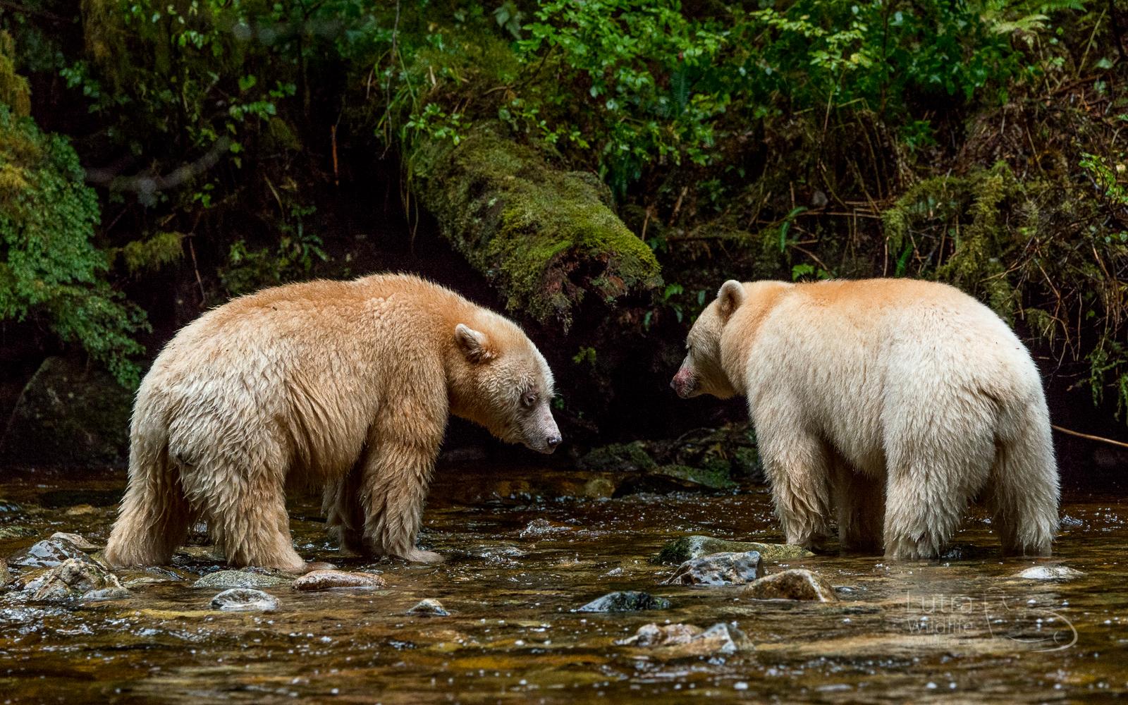 Two Spirit Bears fishing