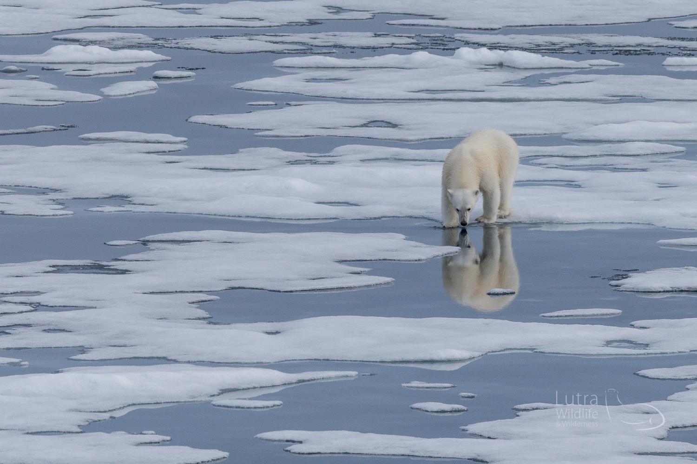 Polar Bear on the sea ice