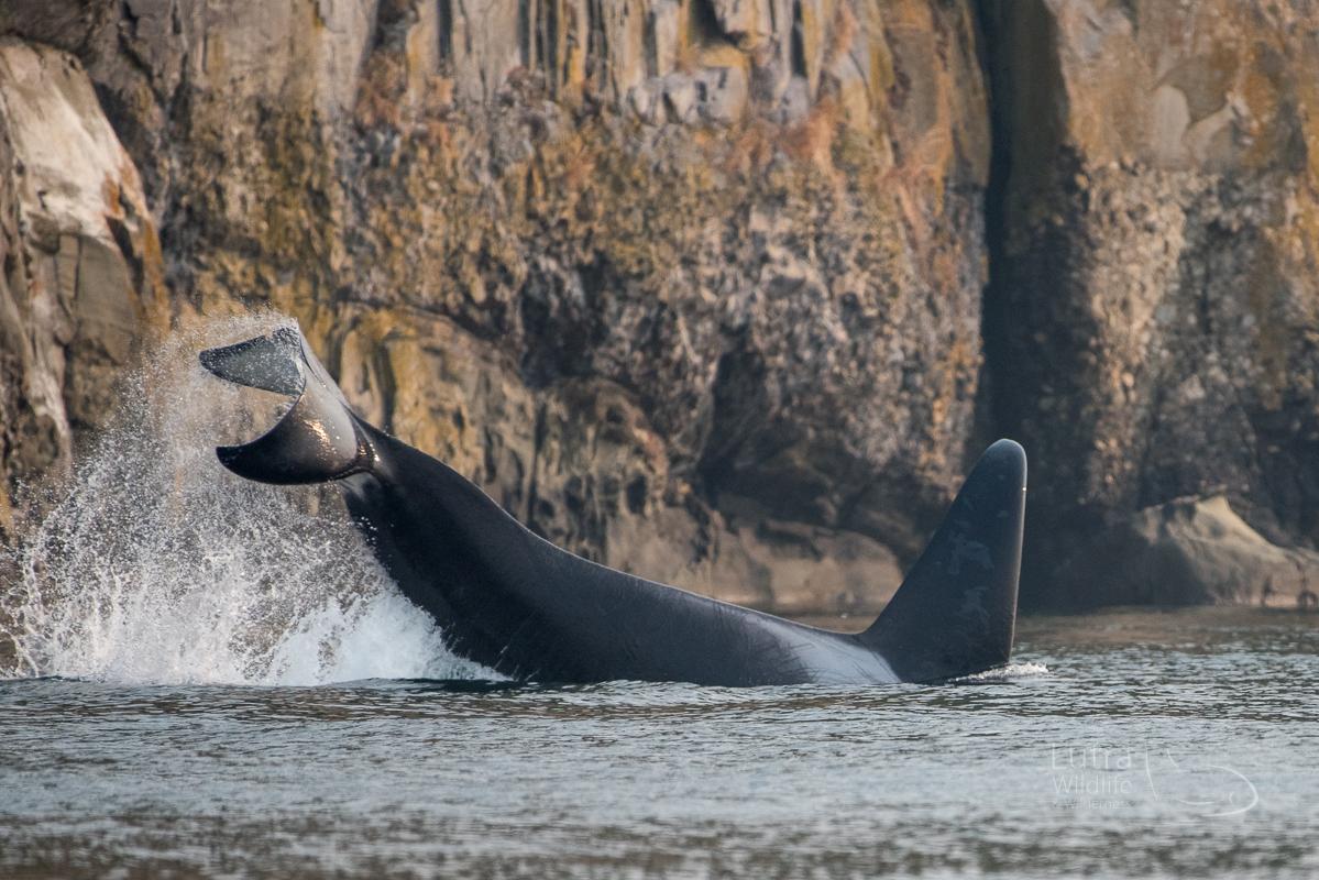 Ultimate Killer Whale Tour